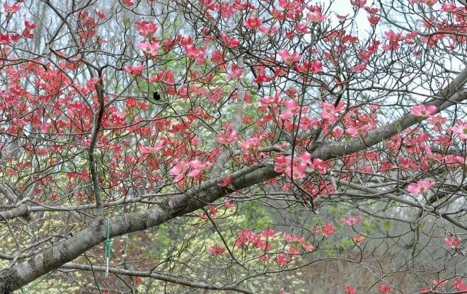 Hummingbird and Dogwood Tree Blooms @ loaveanddishes.net