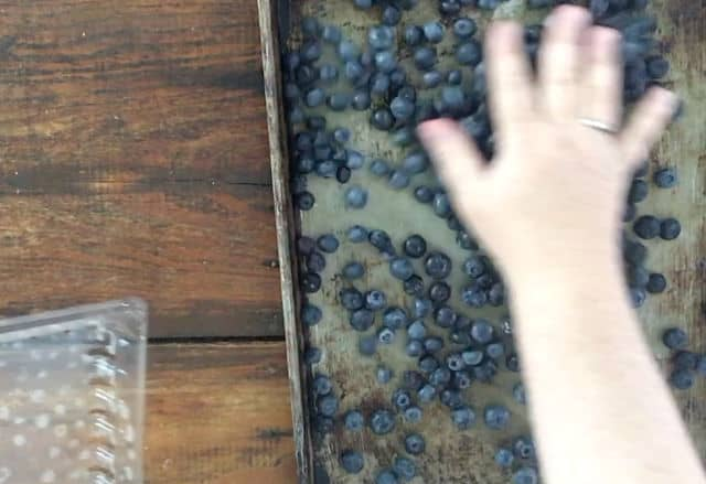 hand spreading blueberries around tray for freezing